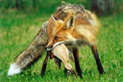 Red-fox-with-fish