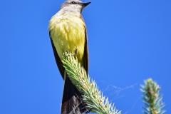 Western-Kingbird-on-tree